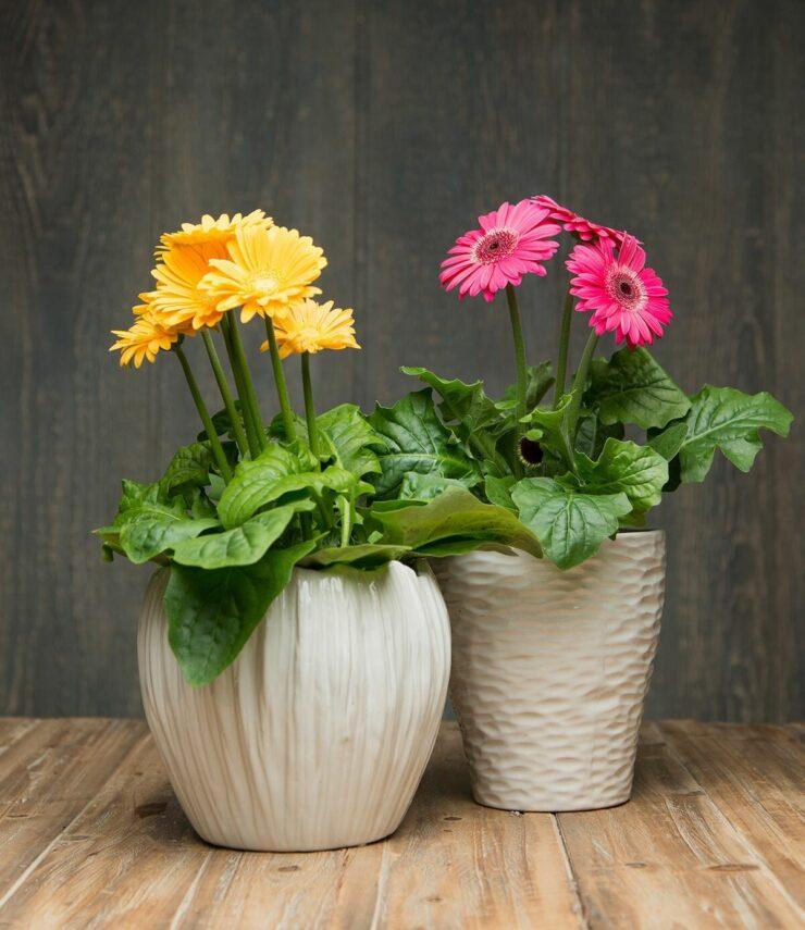 Barberton Daisy AIR PURIFYING PLANTS