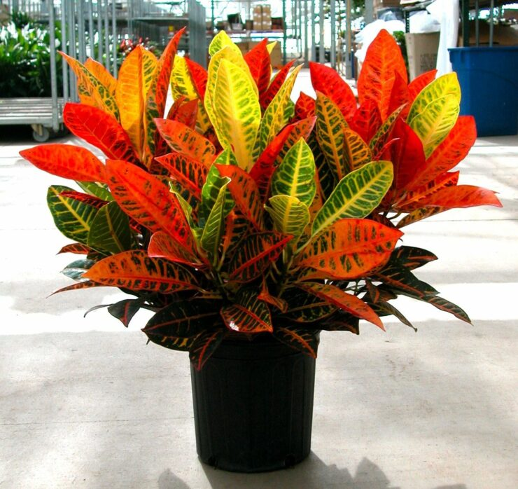 Croton Plant bad plants for the house