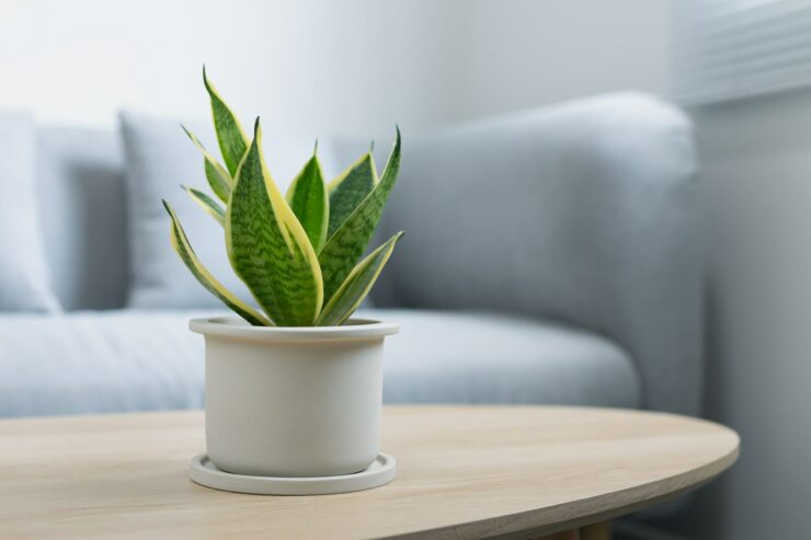 Decorative sansevieria plant