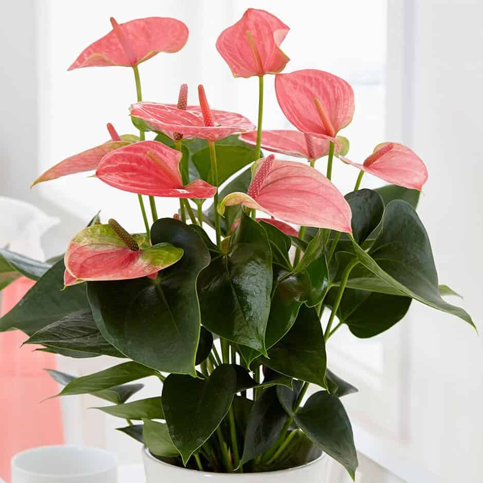 flamingo lily air purifying plants