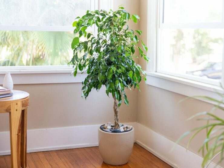 best plants for air purifying - weeping fig tree
