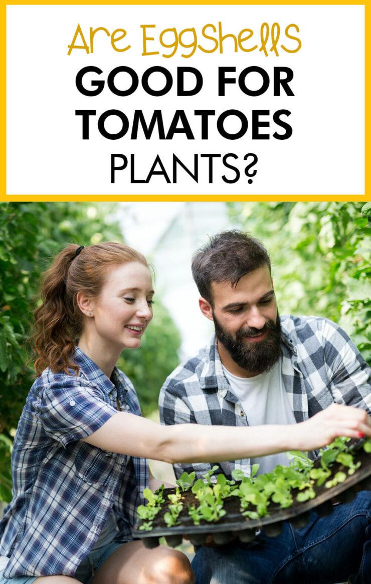 Are eggshells good for tomato plants?