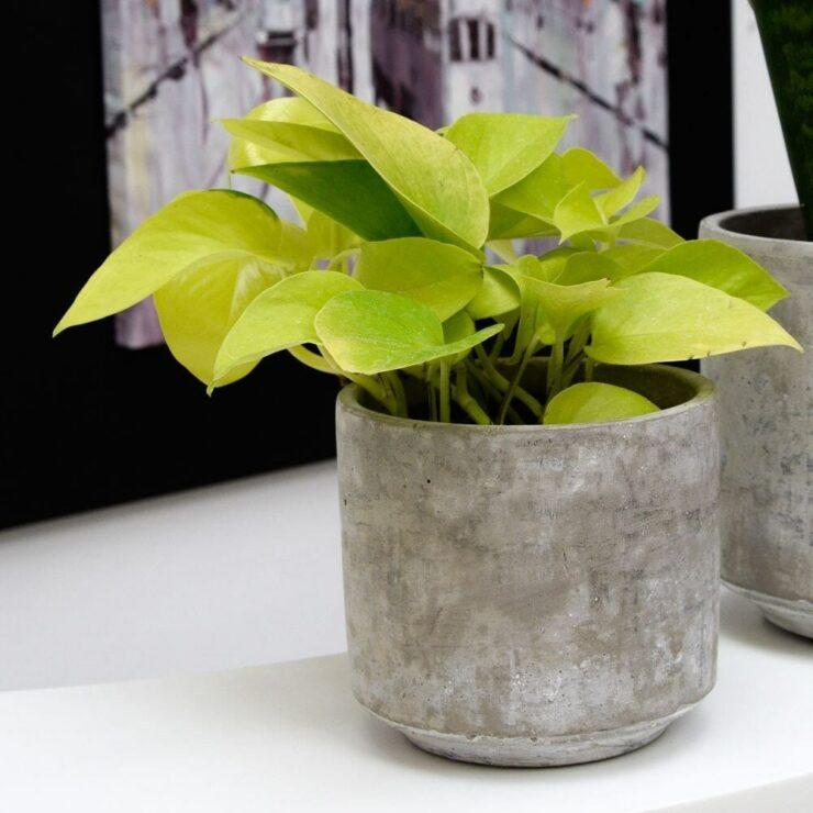 golden pothos indoor plants without sunlight