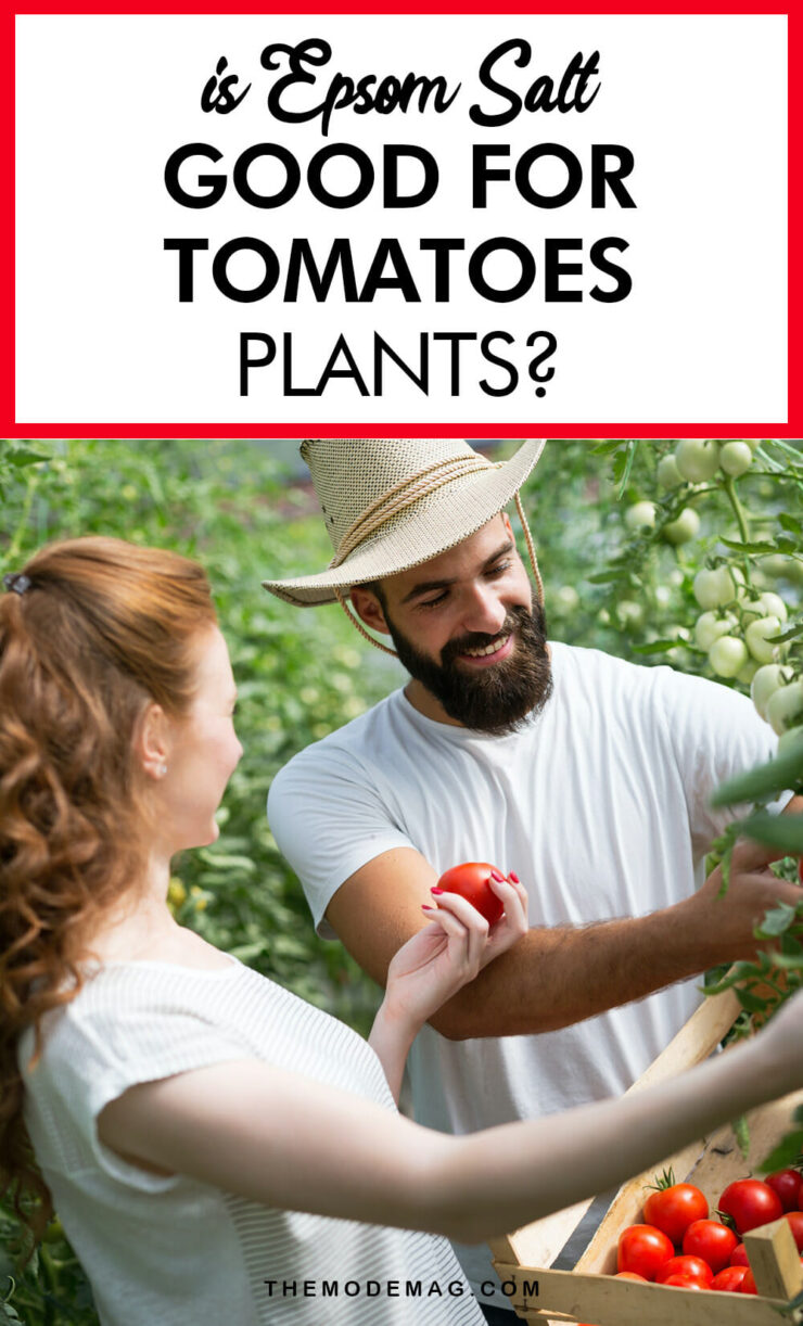Is Epsom Salt Good For Tomatoes Plants?
