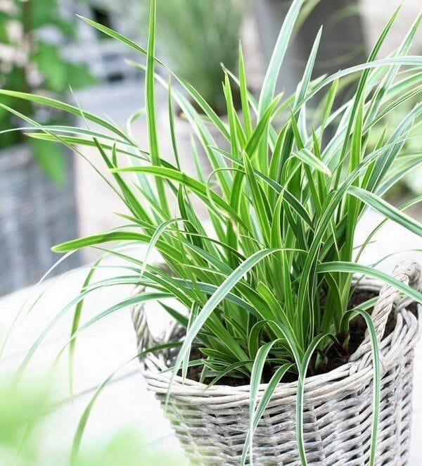Japanese Sedge indoor plants no sun light