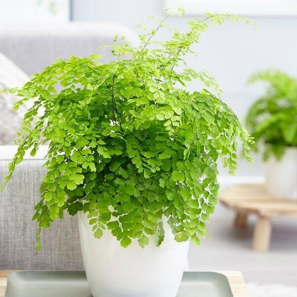 Maidenhair Fern for indoor plants
