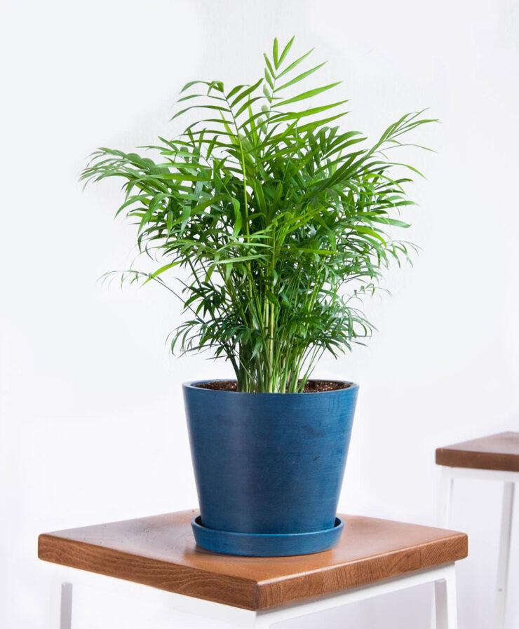 paror palm best indoor plants no sunlight