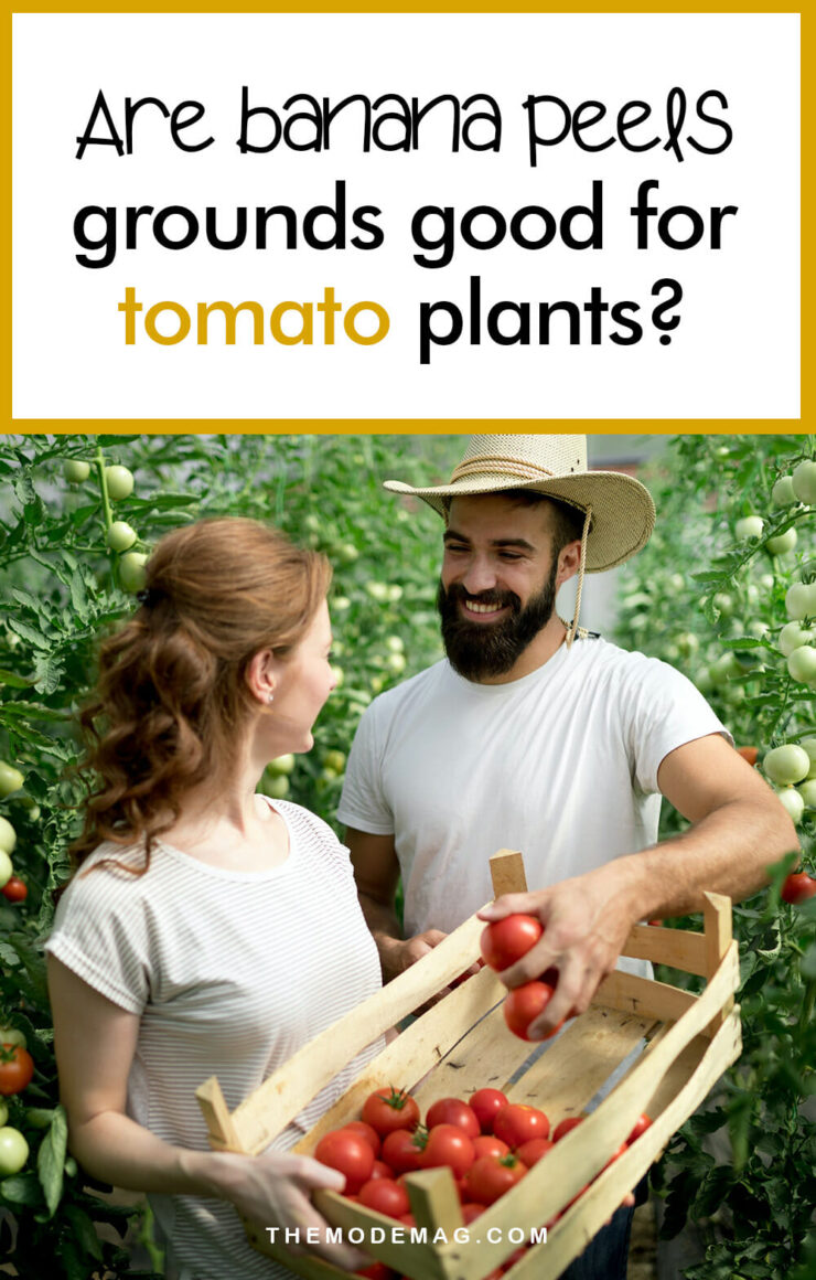Are Banana peels Good For Tomato Plants?