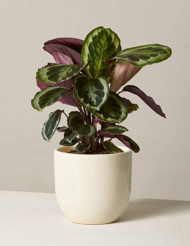 clathea best indoor plants no sun needed