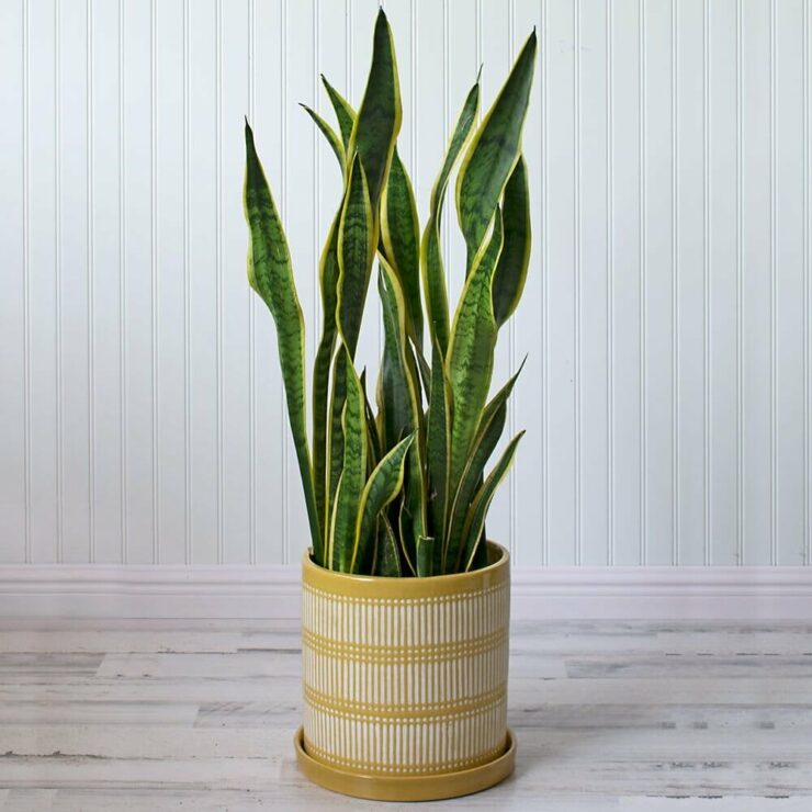 snake plant for indoor