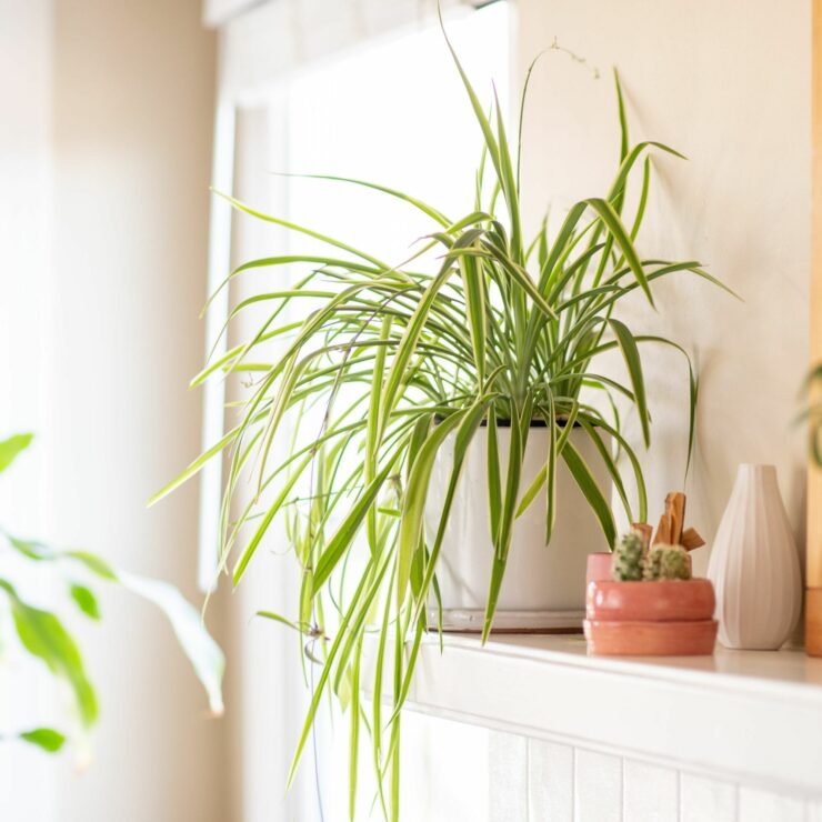 spider plant for indoors