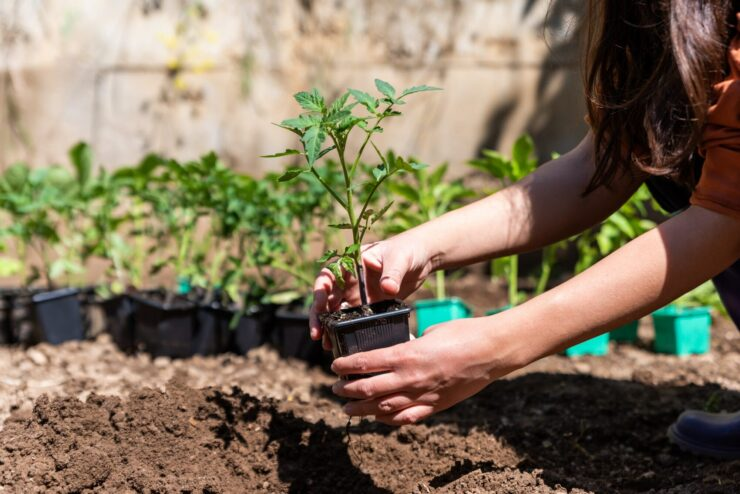 Do tomatoes grow better in pots or in the ground?